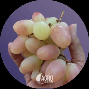 bibit anggur import murah a