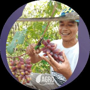 bibit anggur import unggul