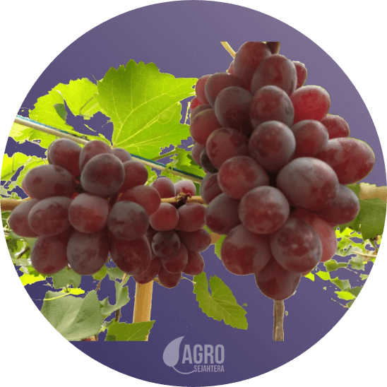 harga bibit anggur import